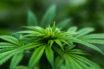 Marijuana affects our environment
